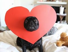 Valentine Pug! (when I have my own dog, I am so making these as valentine cards and mailing them out!!) <3