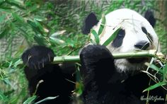 Panda Playing Flute by MoonlightsShadows