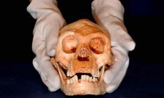 """'Hobbit' species did not evolve from ancestor of modern humans, research finds. their findings support another popular theory: that Homo floresiensis was in fact far more primitive than Homo erectus and had characteristics more similar to Homo habilis, which lived between 1.65m and 2.4m years ago, and which is the most ancient representative of the human genus. """"We can be 99% sure it's not related to Homo erectus and nearly 100% it isn't a malformed Homo sapiens."""""""