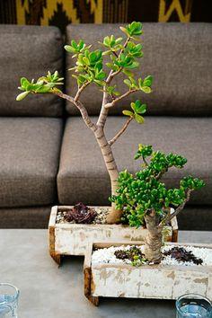 Bonsai Arten als Zimmerpflanzen richtig pflegen