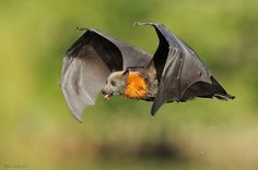 Grey-headed Flying Fox licking water drops from its dripping fur after swooping and dipping its belly in the river. This is how these large bats (wingspan around 1 meter) drink. ~ by Ofer Levy