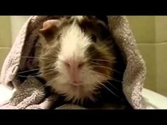 Pet Interviews - Guinea Pig - YouTube