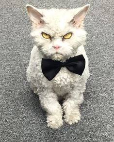 Pompous Albert, A Beautiful Scowling Curly-Haired Cat with a Sharp Sense of Humor