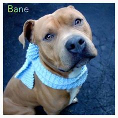 """BANE - A1057463 - - Manhattan TO BE DESTROYED 01/23/16 BANE is a blockheaded hug machine who would be the perfect snuggle companion during snowy days. Please read his brilliant volunteer comments and then find him a FOSTER or ADOPTER, tonight! """"A volunteer wrote:One of the most affectionate dogs with whom you'll ever interact, Bane offers up licks through the bars of his kennel, his beautiful eyes beseeching someone, anyone, to pet him, pay attention to him,"""