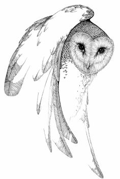 Barn Owl drawn by Peter Parnall for the book Nightwatchers, 1971