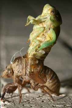 New Day, New Cicada.