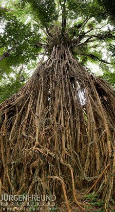 Very impressive! - Tree photography! Giant Fig Tree in the Wet Tropics  Jurgen Freund.... #Relax more with healing sounds: