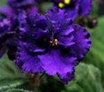 Aca's Passionate flower