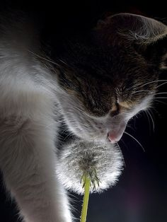 make a wish....Photographer Alissandra ......reminds me of my cat Chief :)