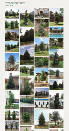 Evergreen Trees - Landscape Designs & Pictures - Dallas, TX - Treeland Nursery The Top Evergreen Tre Evergreen Trees Landscaping, Evergreen Landscape, Texas Landscaping, Evergreen Garden, Evergreen Shrubs, Trees And Shrubs, Trees To Plant, Garden Landscaping, Outdoor Plants