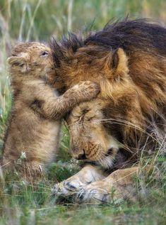 Le roi de la jungle ne baisse la tête devant personne… Sauf face à un adorable…