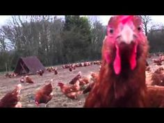 The Happy Egg Co - Our happy girls out and about on the farm! Happy Girls, Girls Out, Eggs, Videos, Egg, Video Clip, Egg As Food