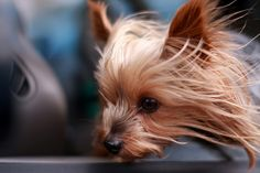 Wind in this Yorkie's hair! Yorkies, Yorkie Puppy, Cute Puppies, Cute Dogs, Dogs And Puppies, Silky Terrier, Terrier Breeds, Yorkshire Terrier Puppies, Little Dogs