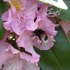 How to Care for Rhododendrons in the Winter thumbnail