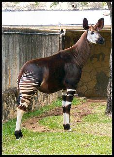 Interesting Animals, Unusual Animals, Rare Animals, Zoo Animals, Animals Beautiful, Animals And Pets, Deadly Animals, Okapi, Mundo Animal