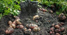 GUIDE: Från gräsmatta till potatisland – så här enkelt är det!   Land.se Garden Weeds, Growing Vegetables, Pest Control, Blueberry, Hem, Fruit, Guide, Green, Gardening