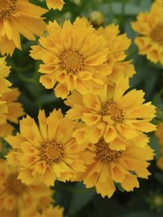 "Coreopsis - ""Jethro Tull"" ~  Love this...just planted some in our front yard."