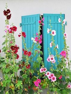 Love the blue as backdrop Maybe shutters on my garden shed with hollyhocks & some other tall growing flowering plants between it . Saw an old white barn w a rainbow of these in front of it. Beautiful backdrop for pictures! Dream Garden, Garden Art, Garden Design, Garden Plants, Growing Flowers, Planting Flowers, Flowering Plants, Growing Plants, Beautiful Gardens