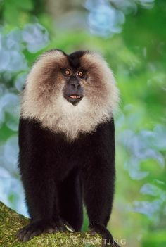 Lion-tailed macaque male, Macaca silenus, Western Ghats, India