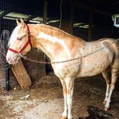 Beck City's Design of Fire - TWHBEA Stallion - gold champagne tobiano with reverse dapples!