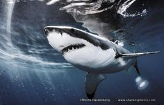 Sharks on the surface...make all the difference!  www.sharkexplorers.com