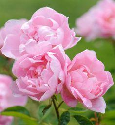 'Windflower' | Shrub. English Rose Collection. Austin 1997