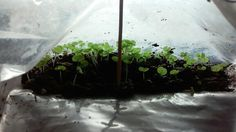 Coleus growing in a ziploc bag