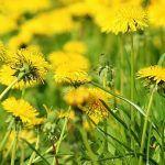 O cură de 30 de zile cu PĂPĂDIE scade GLICEMIA și nevoia de INSULINĂ la DIABETICI | La Taifas Arches, Dandelion, Plants, Syrup, Salads, Roast, Dandelions, Arch, Plant