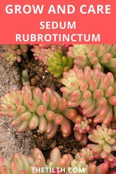 Sedum Rubrotinctum (Sedum Pork and Beans). Pork N Beans, Types Of Succulents, Succulent Care, Plants, Plant, Planets