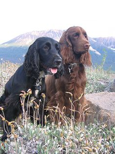Field Spaniel dogs with mountains in the backdrop. Love pups in nature.