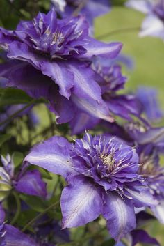 Clematis by sweber4507, via Flickr