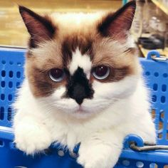 """Adorable Kitty With """"Skull Like"""" Nose Marking Becomes Instantly Famous Albert is an unique munchkin cat who has some new pose to flaunt for his more than forty six thousand followers. [[MORE]]The..."""