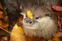 Hey otter, you have a leaf on your face - November 2015 Otters Cute, Baby Otters, Otter Pup, Otter Love, Animal Totems, Cute Funny Animals, Spirit Animal, Beautiful Creatures, Fur Babies