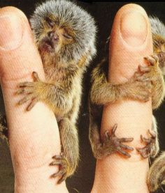 If you can find me a cuter mini-baby animal pic, I dare ya.  This is of a couple little Pygmy Marmosets, the teeny-tiniest of monkeys!