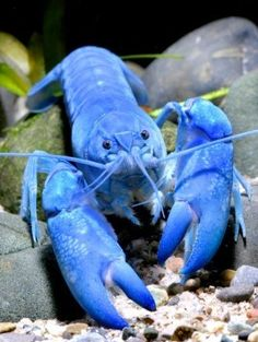 yabbie blue crayfish; is it weird that i would love to have this as a pet?