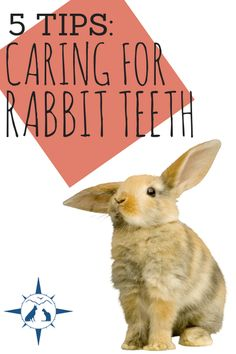 How to care for rabbit teeth ♥ Loved and pinned by Noah's Ark Mobile Vet Service | 250-212-5069 | Kelowna