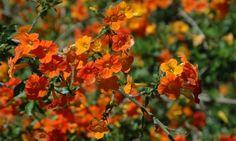 streptosolen jasmesonii, marmalade bush