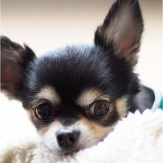 Chihuahua Care - 5 Important Issues Every Owner Should Know - Dog Pets Zone Chihuahua Puppies, Cute Puppies, Cute Dogs, Dogs And Puppies, Doggies, Akita Dog, Cute Animal Pictures, Baby Dogs, Little Dogs
