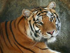 CLIPART TIGRI | ... uomo e animale ma nella realtà le tigri sono minacciate dall'uomo
