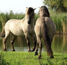 """Tarpan is an extinct subspecies of wild horse. The last individual believed to be of this subspecies died in captivity in Russia in 1909, although some sources claim that it was not a genuine wild horse due to its resemblance to domesticated horses.  Pic: Heck horse the """"breeding back"""" promoted as Tarpans.  Credit:  http://en.wikipedia.org/wiki/Tarpans  Pic Credit: http://whatafy.com/storage"""