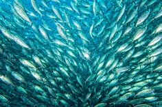 Fish rain - Inside a sardine school of fish close up in the deep blue sea