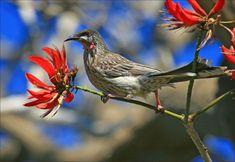 Red wattlebird  Anthochaera carunculata...sydney birds