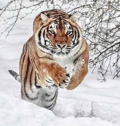 """belle-faune: """"The Hunter par © Wes et Dotty Weber"""" Big Cats, Cool Cats, Cats And Kittens, Tiger Pictures, Cute Animal Pictures, Animals And Pets, Funny Animals, Cute Animals, Beautiful Cats"""