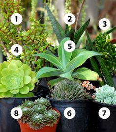 People often ask me which succulents do well in the shade. Unfortunately, most do not. Aloes won't bloom. Agaves rot out. Cacti become thin and sickly. But there are a few succulents that can do well in shade. And some — such as most members of the Sansevieria family — even prefer it.