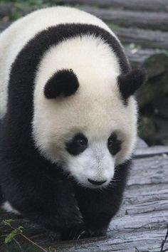 2012 11 09 Yaan Bi Feng Xia Base of CCRCGP Panda Kindergarten - Yun Duo, Yun Hui & Su Shan 043, via Flickr.