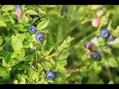 Blueberry Hill    Cover Nr. Peter M.K. von The SIrs Blueberry, Cover, Music, Berry, Blueberries, Blankets