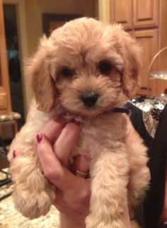 6 month old Cooper the CavaPooChon | Dogs | Pinterest ...