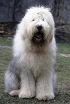 Old English Sheepdog. I WILL own one someday
