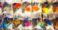 Mong Kok, Hong Kong, is home to the Goldfish Market, famous for the intriguing display of hanging bags of freshwater, tropical, and marine fish.