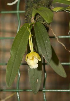 Orchids, Trichocentrum panduratum